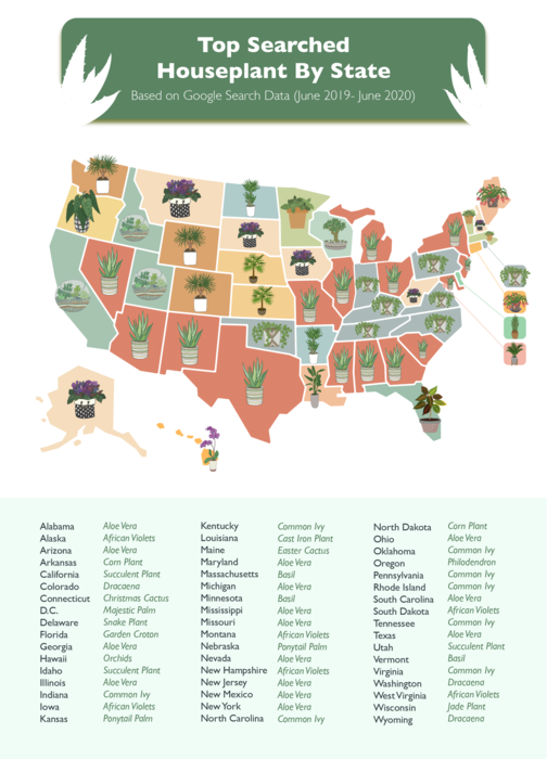 """Top Searched House Plants from June 2019 to June 2020"""" Map /> <p>Every state had a houseplant that they had a strong interest in based on their search volume. Some were more unique, such as Louisiana, with its interest in the Cast Iron plant, while others jumped on the Succulent or Aloe Vera train and never looked back.</p> <p>Somewhat surprisingly, Succulents were nowhere near the top-searched houseplant over the past year. Succulents were easily beaten out by Aloe Vera, Common Ivy, African Violets, Basil, and even tied with Dracaena. </p> <img src="""